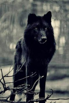 My next pet and friend to join me in life black with blue eyes Wolfdog hybrid or pure wolf