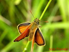 Small Skipper butterfly, back garden, 13 July 2015