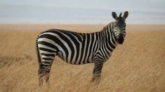 Zebras are my favorite animals. They are a type of zebra species that are becoming extinct. Please tell me your thoughts on zebras. check out my Zebras board Zebras, Rare Animals, Funny Animals, Wild Animals, Zebra Pictures, Plains Zebra, Okapi, Predator, Animal Photography