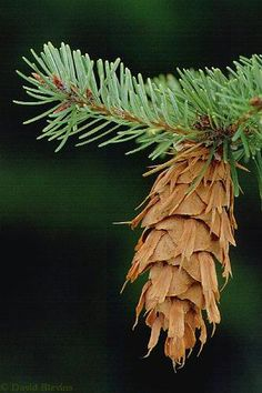 Douglas Fir - ever notice it looks like mice have crawled into the cones, leaving their tails and back legs showing!!