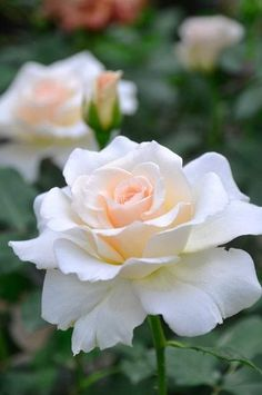 Beautiful Rose Flowers, Beautiful Flowers Wallpapers, Pretty Roses, Love Rose, All Flowers, Amazing Flowers, Art Floral, White Roses, White Flowers