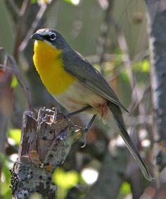 yellow-breasted-chat--tom-munson.jpg