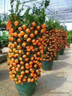 urban gardening - My Nice Garden Buying Citrus Lime Trees for Chinese New Year Dwarf Fruit Trees, Fruit Plants, Fruit Garden, Garden Trees, Edible Garden, Citrus Garden, Espalier Fruit Trees, Hydroponic Gardening, Hydroponics