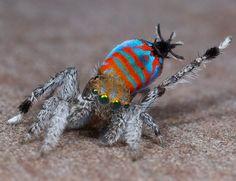 "Maratus jactatus was nicknamed ""Sparklemuffin"" by Maddie Girard, a PhD student at the University of California, Berkeley"