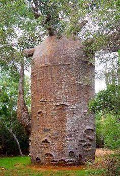 Baobá de mais de 1000 anos