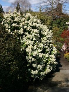 Schattenglöckchen 'White Pearl' - Pieris japonica 'White Pearl' Garden Shrubs, Garden Plants, Garden Landscaping, Pieris Japonica, Sea Holly, Moon Garden, Pearl White, Blue Flowers, Moonlight