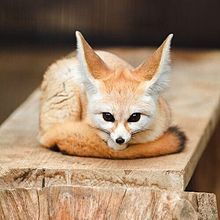 Fennec Fox by thomasbernard1633 - Thomas Bernard