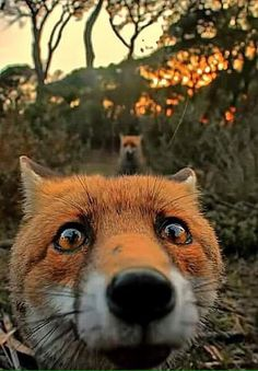 Fox selfie