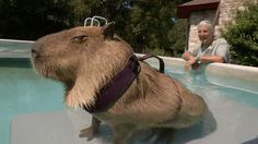 Gary, a 112-pound capybara rodent in Texas, is offcialy the world's largest pet rodent. And as you can tell, Gary likes a good swim- so much so that his owners built an above ground pool especially for Gary. Awh!wee