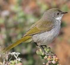 """The Karoo Eremomela (Eremomela gregalis), also known as the Yellow-rumped Eremomela, is a species of bird formerly placed in the """"Old World warbler"""" assemblage, but now placed in the family Cisticolidae. . It is found in Namibia and South Africa"""