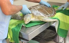 Saving turtles one tumor at a time   Rehabilitation specialists at the Marathon Turtle Hospital prepare Gwen, a green turtle, for CO2 laser surgery to remove a fibropapilloma tumor near his front left flipper. The new laser tool was funded in part by the Sea Turtle Grants Program from the sale of the Florida sea turtle license plates.