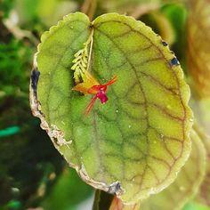 Lepanthes  #flowers #flower #TagsForLikes #petal #petals #nature #beautiful #love #pretty #plants #blossom #sopretty #flowerstagram #flowersofinstagram #flowerslovers #flowerporn #botanical #floral #florals #insta_pick_blossom #flowermagic #instablooms #bloom #blooms #botanical #floweroftheday #orchid #orchids #orquídea #orquídeas