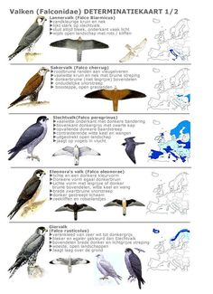 Valken 1 Hunting Guide, Biology Art, Bird Identification, Albinism, Bird Poster, Kinds Of Birds, Peregrine, Diy Garden Projects, Backyard Birds