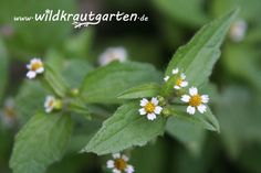 Wildkrautgarten.de - Knopfkraut Herbs, Wilde, Mindful, Plants, Diy, Recipies, Bricolage, Herb