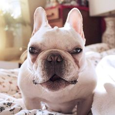 'The Evil Adventures of TurtleBatPig', the French Bulldog.