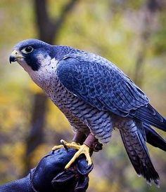 Peregrine Falcon via Paradise of Birds on Facebook