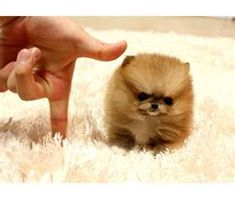 so tiny micro Minnie Pomeranian