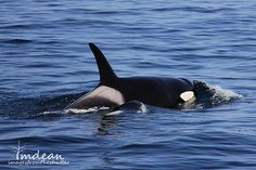Killer Whale - Spotted Twillingate, Newfoundland and Labrador Newfoundland Island, Newfoundland And Labrador, Types Of Whales, Save The Whales, Orcas, Killer Whales, Wild Ones, Salt And Water, Shutter