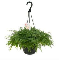 Exotic Angel Plants: The Exotic Angel Plants 8 in. Fern Rabbit's Foot in Hanging Basket features crisp green elements and hairy roots that resemble furry paws, giving the plant its name. An attractive hanging basket houses the plant, allow