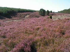 You think it's Yorkshire? These is a  heather meadow in Bory Tucholskie, Poland.