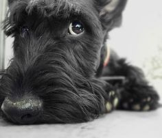 Gavin the Scottish Terrier - our angus was so bad and i loved him so much.