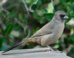 Abert's Towhee, Pipilo aberti: endemic to AZ