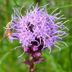 Lavender Blazing Star Flower And Bee Photograph