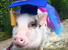 introduction to training Miniature Pigs, You Are Wonderful, Mini Pigs, Education And Training, Teaching, Pets, Therapy, Animals, Truffles