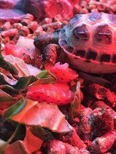 Horsefield Tortoise, Strawberry, Fruit, Food, Strawberries, Meals