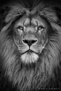 "Photographer: Wolf Ademeit ""Male Lion Portrait"""