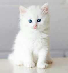 I love white cats . Cute Baby Cats, Baby Kittens, Cute Little Animals, Cute Cats And Kittens, I Love Cats, Crazy Cats, Kittens Cutest, Pretty Cats, Beautiful Cats