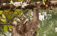Pygmy sloth/ monk sloth, three-toed sloth, Panama  (One of the 100 species in the world most likely to go extinct)