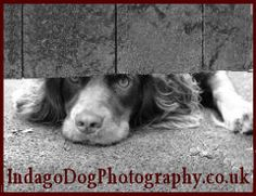 "Springer Spaniel - ""Please can I come too?"""