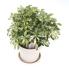 Schefflera is an easy-to-grow houseplant that's been popular for generations. Get tips to grow schefflera indoors in your home! Planting, Gardening, Ficus, Indoor Plants, House Plants, Costa, Ivory, Diy, Inside Plants