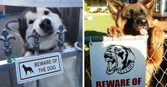 12 chiens dangereux qui se cachent derrière des pancartes «Attention, chien méchant».