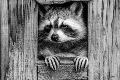 We love photo Cute Raccoon, Racoon, Unique Animals, Cute Animals, Wild Animals, Photos Originales, Woodland Creatures, Love Photos, Wood Carving