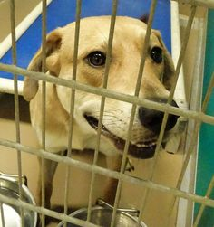 "02/04/15-URGENT- Dogs that desperately need to be rescued from GCARC January 18 · #31133 ""Diego"" Male Labrador For more information call 409 948-2485. Available for adoption from the Galveston County Animal Resource Center - A HIGH KILL SHELTER in Texas City, TX."