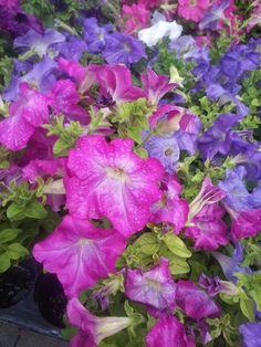 LUVly petunias in the rain at the Winter Park Farmer's Market. #drinks #flowers #pink #purple #WinterParkFarmersMarket #LoveFL #iluvwinterpark #iluvparkavenue