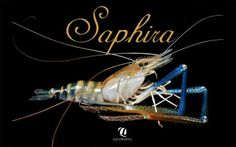 #Saphira the blue-legged #prawn by Aquaprawna