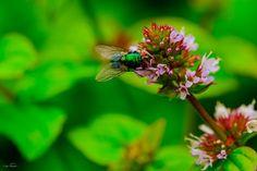 Makrofotografie #fliege #mücke #insect #Makrofotografie #makro #fotomotiv #foto #photo #fotografie #photography #photographie #macro #fotografía #insekt