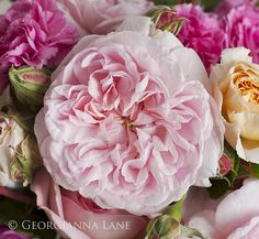 Eglantyne, a David Austin English Rose by Georgianna Lane