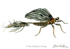 Mayfly: Brown Drake (Emerger)