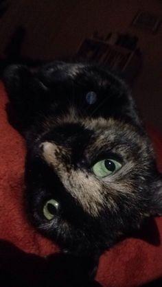 Indy. Tortie cat ❤️ tortoiseshell