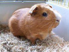 Guinea Pig Names – There are few pets as cute and cuddly as a guinea pig, so we totally understand your excitement if you are in the process of getting one. Guinea pigs are becoming an increa… Types Of Animals, Cute Animals, Crazy Animal Facts, Guinea Africa, Guinea Pig Breeding, Guinea Pig Accessories, Cute Guinea Pigs, Pig Art, Animal Species