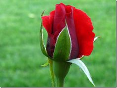 botão de rosas vermelhas - Pesquisa Google