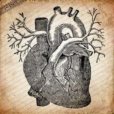 Anatomical heart. Ilustração do séc. XIX.