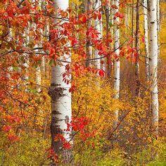 Aspen Trees, Tree Art, Lavender, Painting, Image, Painting Art, Paintings, Painted Canvas, Wood Art