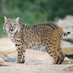 A scream from one of these will make your hair stand on end...the bobcat.