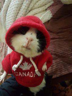 Pig Family, Baby Guinea Pigs, Cute Boys, Spicy, Rabbit, Cute Animals, Teddy Bear, India, Rock