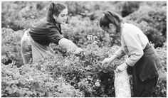Young women harvesting roses on a farm in Kazanluk. Women tend to do more hand labor, while men work with machinery and animals, in the agricultural sector.